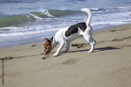 Young dog jack russel to sea
