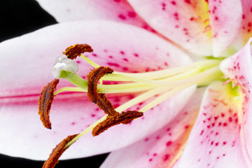 Close up pink and white lily flower