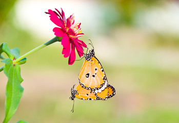 monarch butterfly.Butterfli es, pairing