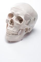 白背景に頭蓋骨の模型