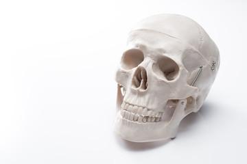 白背景に頭蓋骨の人体模型