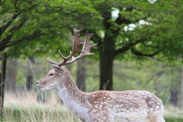Mature fallow deer