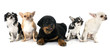 puppy rottweiler and chihuahuas