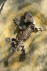 fossil  Seymouria