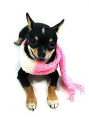 Chihuahua  in the scarf