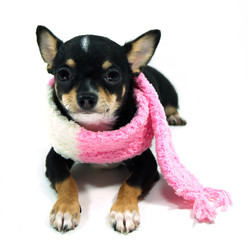 Chihuahua  in the pink scarf