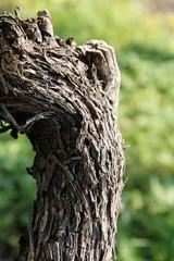 grapevine trunk