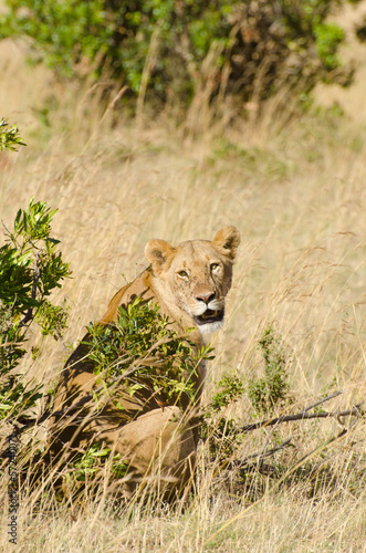 lioness in grass on the masi mari