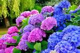 Fototapety Hortensias dans un jardin