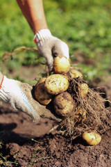 Yellow and pink potato root harvest in hands