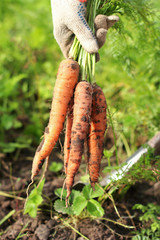 Freshly picked ripe carrot bunch in a hand