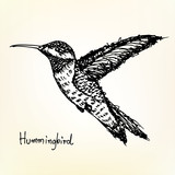 hummingbird sketch vector