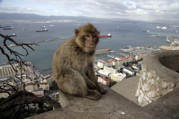 Barbary ape or macaque, Macaca sylvanus