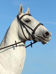 White akhal-teke - rare breed horse