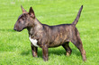 StickerMiniature Bull Terrier