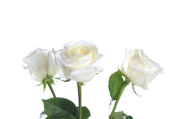 Close up of three white roses.
