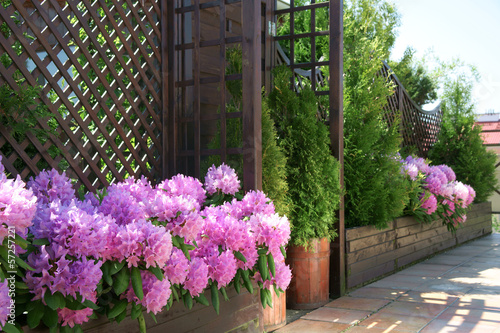 Tuinposter Azalea Rhododendron on the terrace
