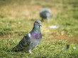 The Pigeon On The Grass