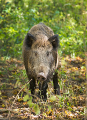 Wild boar standing in forest