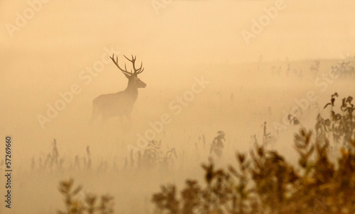 Poster Hert Red deer with big antlers stands on meadow on foggy morning