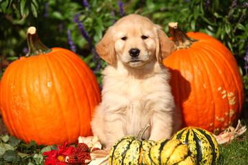 Golden Retriever Puppy With Pumpkins