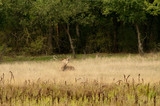 Roaring deer in high grass beside forest