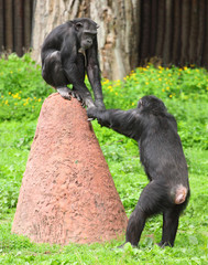 Two chimpanzees playing together.