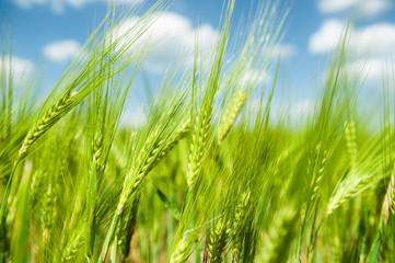Sunny green wheat field closeup