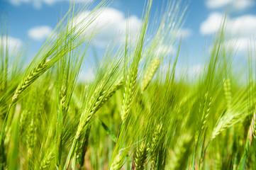 Sunny green wheat field closeup