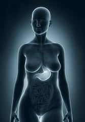Woman stomach anatomy