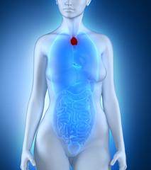 Woman thymus anatomy
