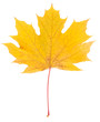 Yellow maple leaf isolated on white