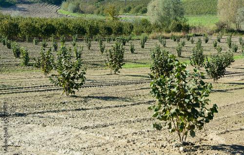 Noccioleto in Piemonte