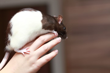 Friendly pet brown rat in human hand, animals at home