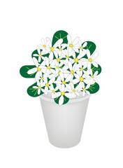 Beautiful Hydrangea Flower in A Flowerpot