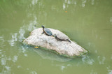 Turtles on rock in pool park