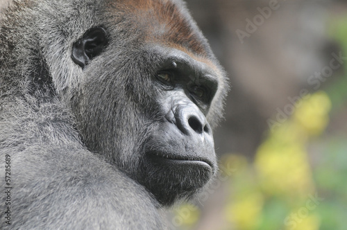 Tuinposter Aap One Adult Black Gorilla