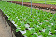 Hydroponic vegetables plantation in Thailand
