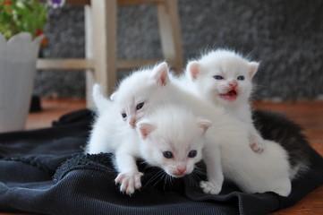 три голубоглазые белые котята на крыльце дома