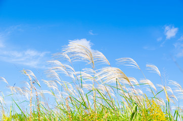 sky and silver grass in autumn