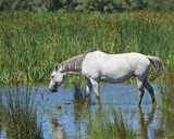 Portrait of nice horse wild in camargue french Region