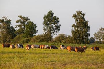 Tierhaltung von Kühen auf der Weide