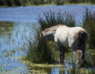 Portrait of nice horse wild in camargue french Region