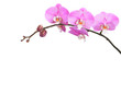pink and white  orchid isolated on white background