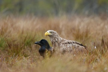 White-tailed eagle and Common Raven in bog