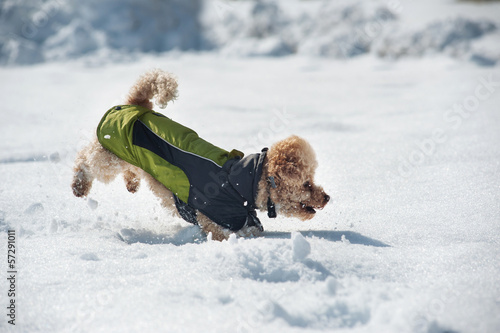 Poodle dog running in the snow.