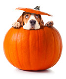 beagle in pumpkin