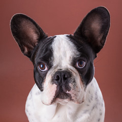 French bulldog portrait over brown backgroud