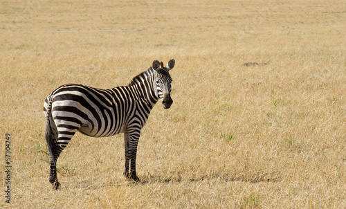 zebra on grassland in kenya