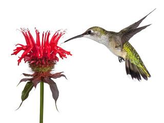Hummingbird and Monarda